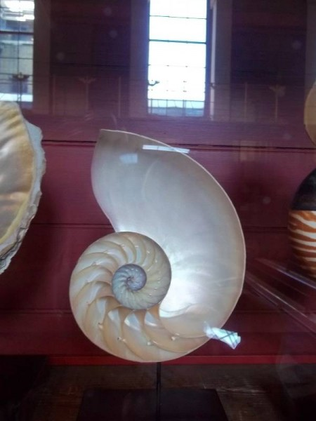 Nautilus shell cut open  (in a glass case in the Enlightenment Gallery in the British Museum)