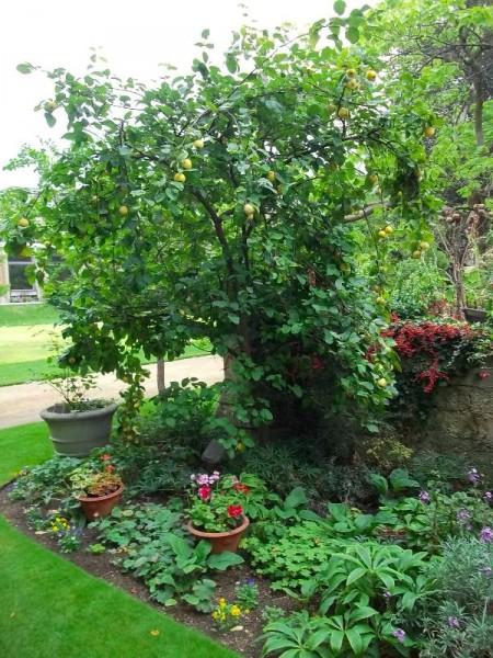 Quince tree in Balliol garden