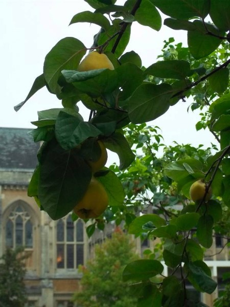 Balliol Colllege garden: the dining hall seen through the branch of a burgeoning quince tree