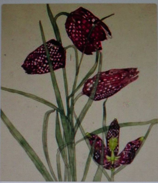 Charles Rennie Mackintosh: Snake's head fritillary (watercolour 1915)