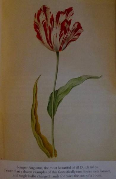Semper Augusta (from Mike Dash: Tulipomania; Victor Gollencz, 1999)
