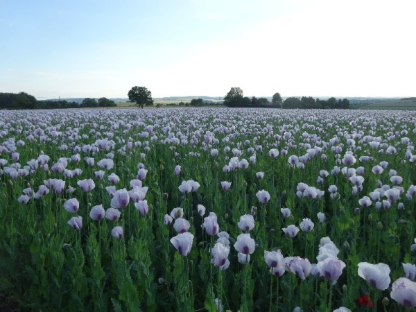 Opium poppies, Ipsden (23 June 2015)