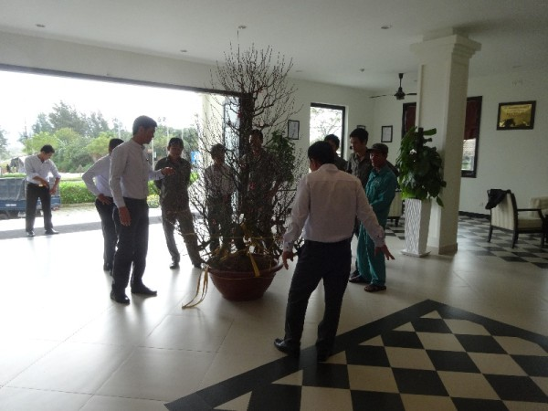 Hoi An hotel: the arrival of a third Tet tree - peach this time