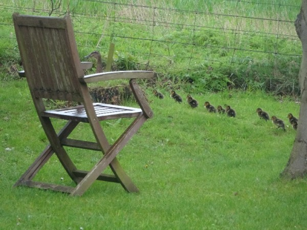 Ducklings - the first and only sight of them